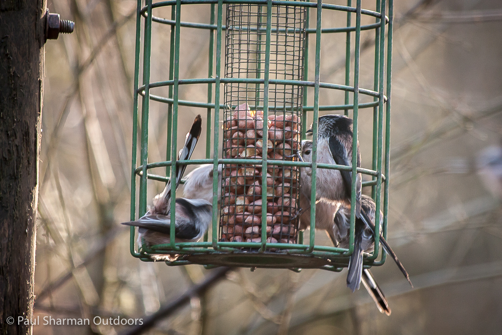 Group dining long-tailed tit style