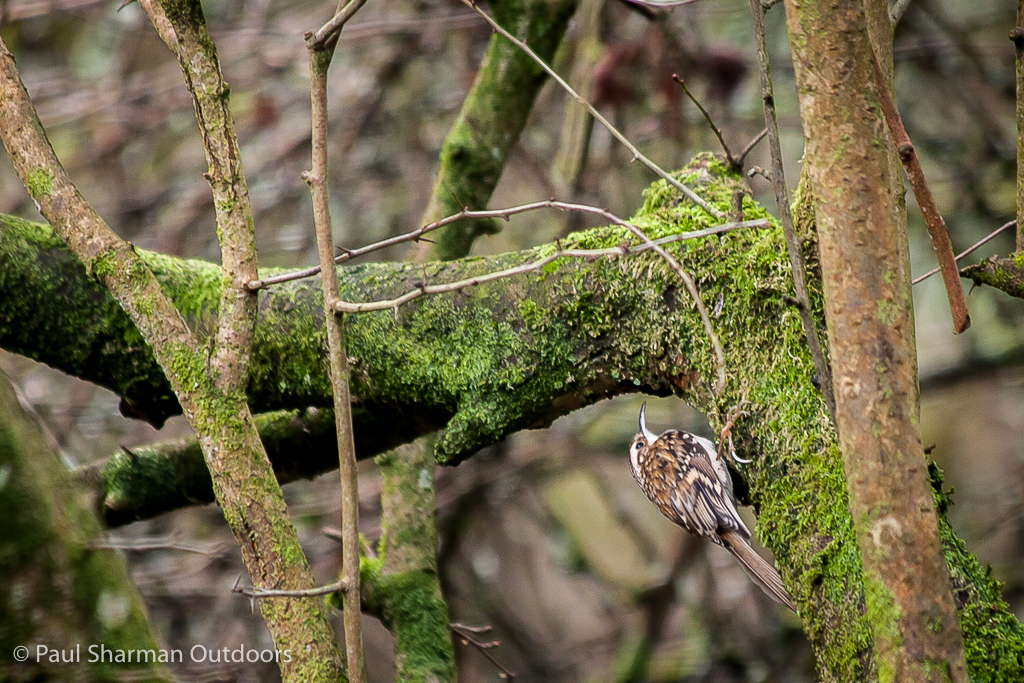 Treecreeper working his way up a mossy bough.