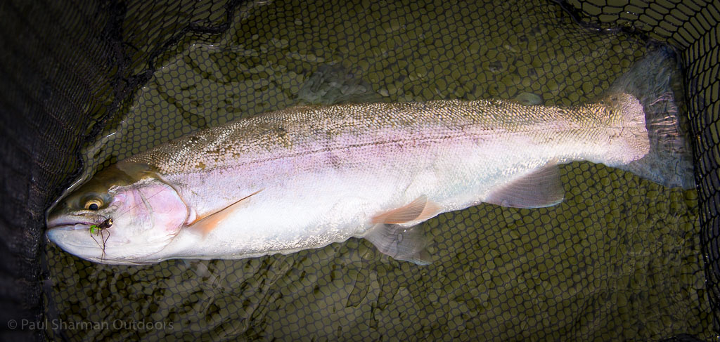 The first hard-fighting Arlington rainbow trout of the day.