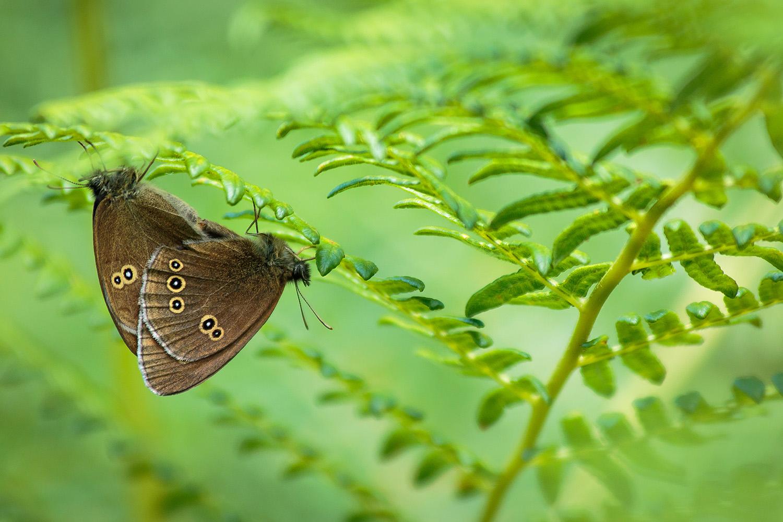 Ringlet butterflies mating