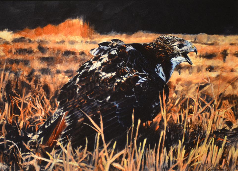 Red-tailed Hawk in yarak