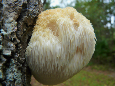 - So, what is Lion's Mane and why do we care about this mushroom in particular? According to people much smarter than myself, Lion's Mane is the only mushroom CLINICALLY proven to support brain function (excellent for TBI recovery in particular). Research shows it also supports mood regulation, the immune system, and the nervous system. It has adaptogen properties, and supports the production of NGF (nerve growth function).