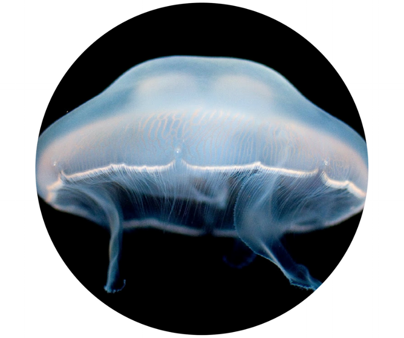 Sunset Marine Labs was founded in 1996 in an effort to bring jellyfish to the commercial marine ornamental fish market. - Since its conception, Sunset Marine Labs has been dedicated to breeding healthy cold and warm water moon jellyfish, Aurelia aurita.