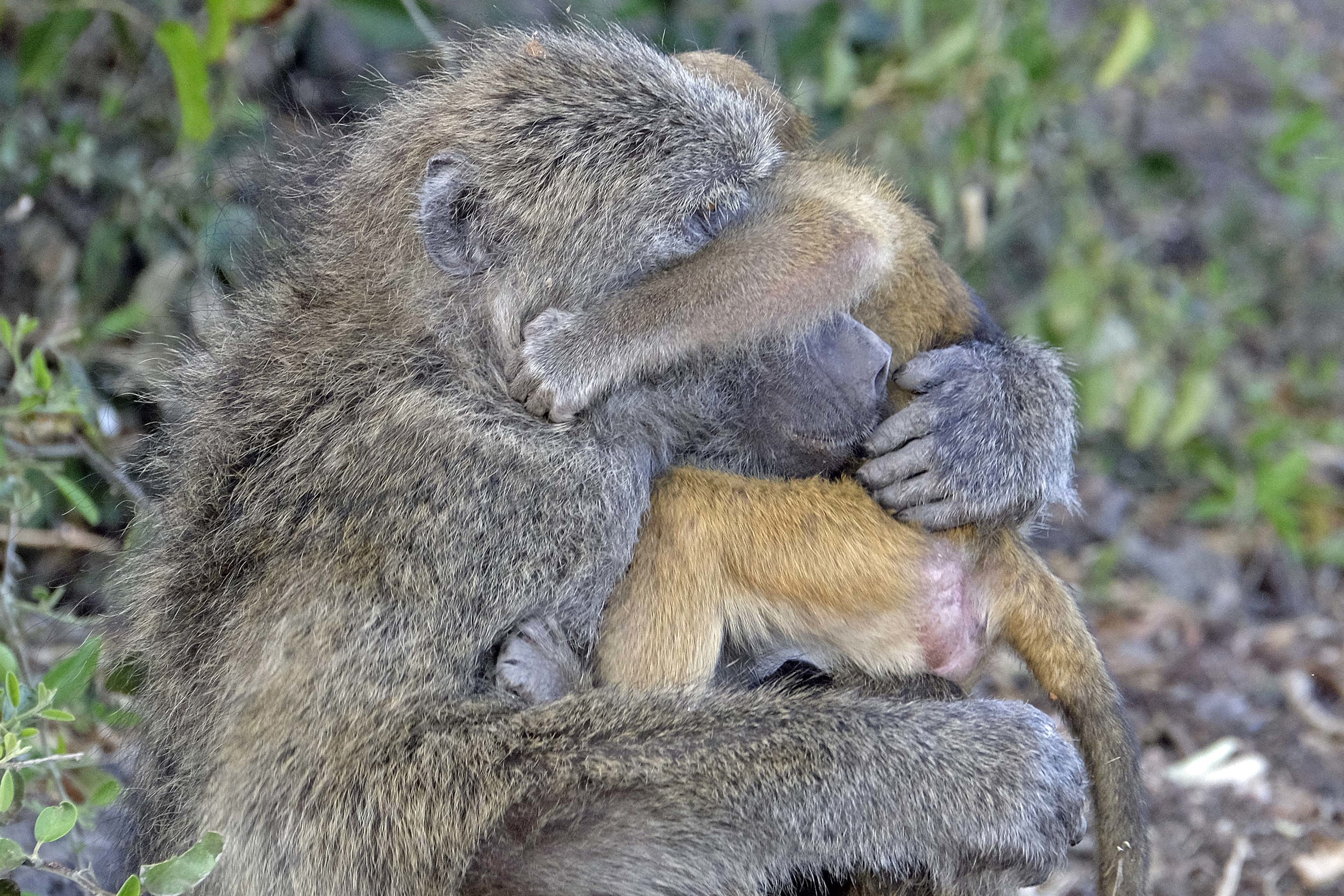 Baboon Mother and Baby