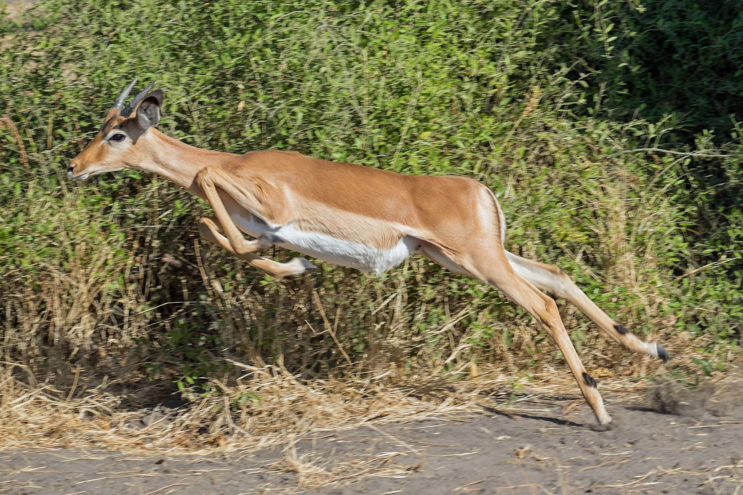 Impala Fleeing African Lioness