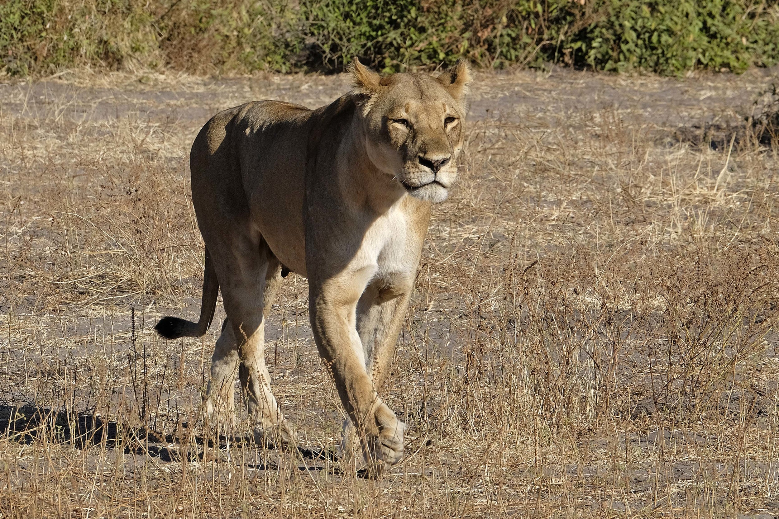 African Lioness on the Move