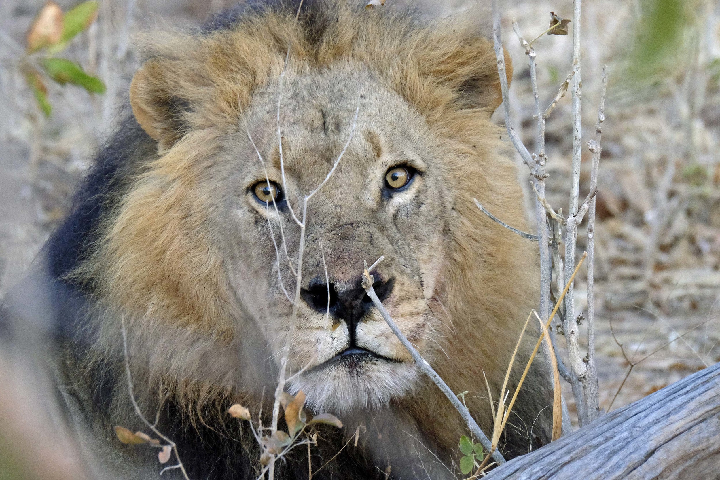 Magnificent Male African Lion with Black Mane
