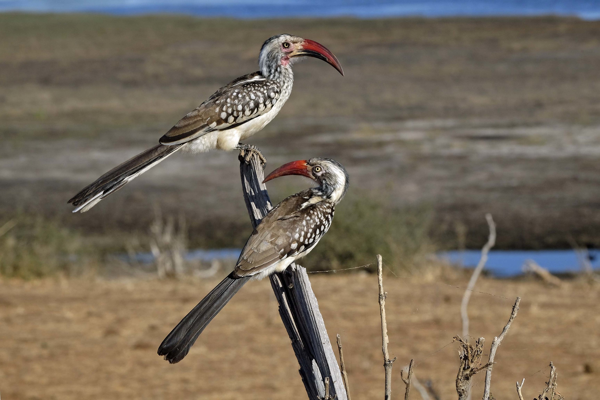 Redbilled Hornbills