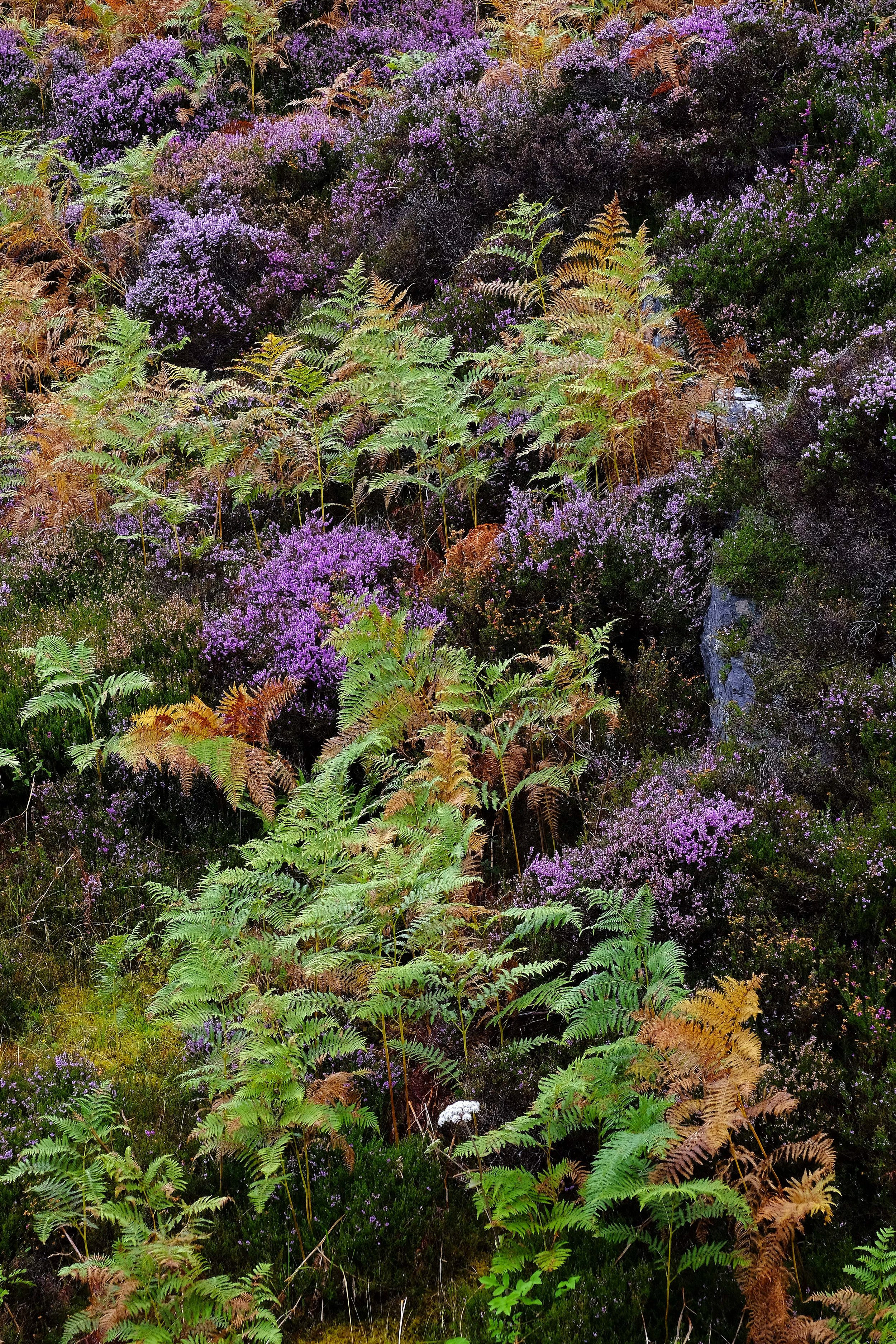 heather and ferns on the road to isle of skye