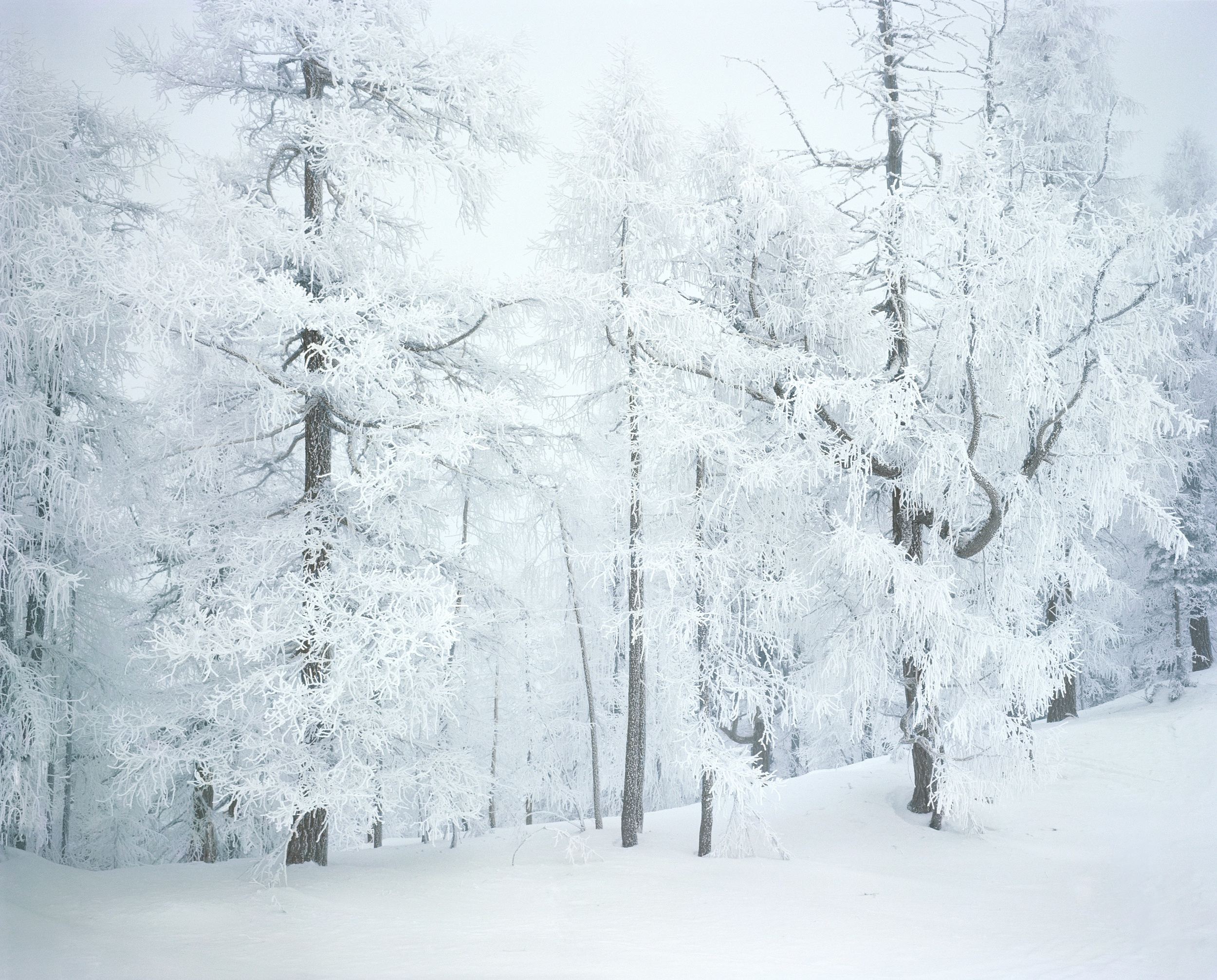 Frosted Trees I, 2009
