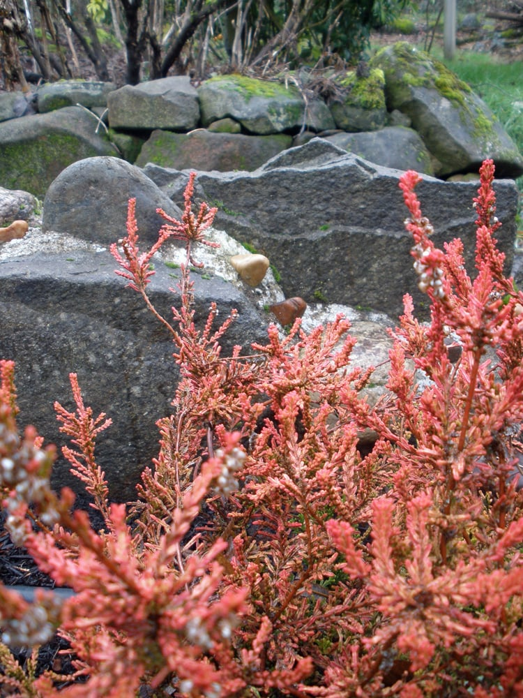 Winter Flame Heather