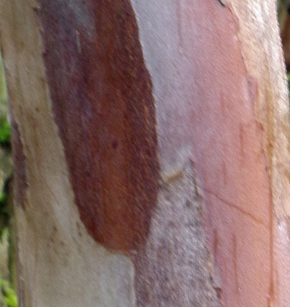 Winter bark from my favorite tree, Stewartia