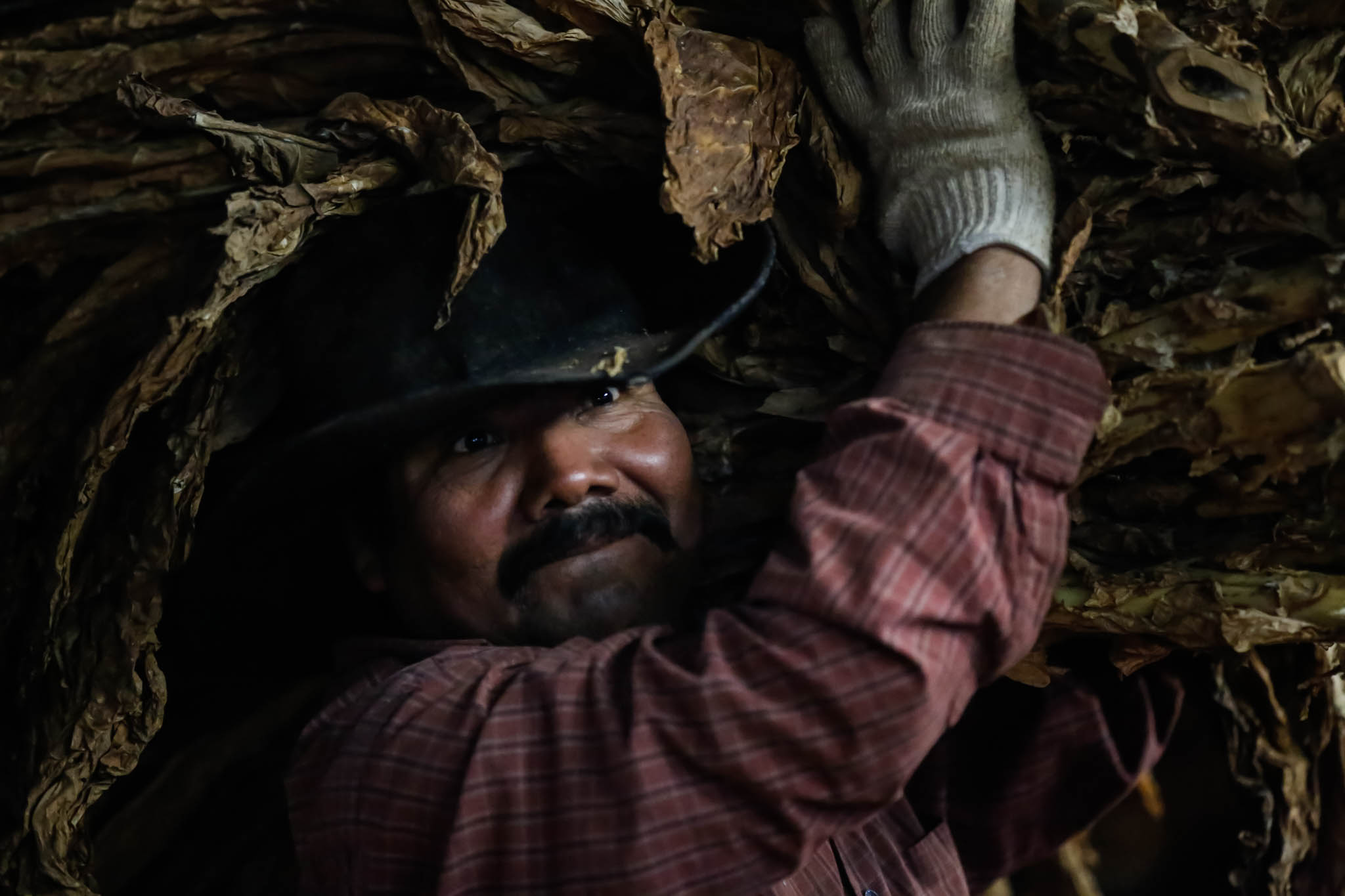 Benjamin Crúz Perez, a 42-year-old migrant worker from Mexico, carries stalks of tobacco to be processed at a barn in Midway, Kentucky.