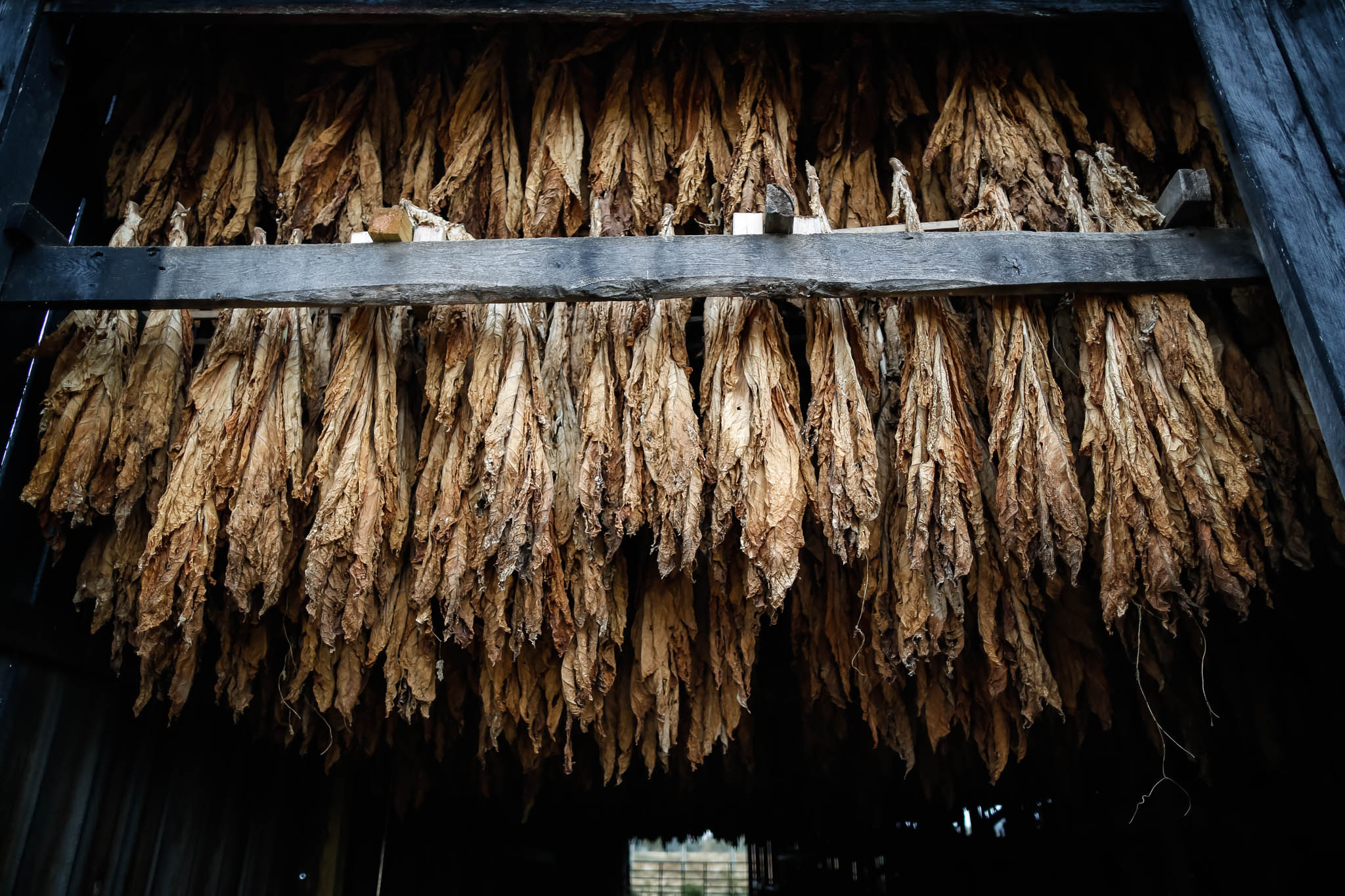 Tobacco stalks are hung upside down in the rafters of the barn to reduce moisture after harvesting.