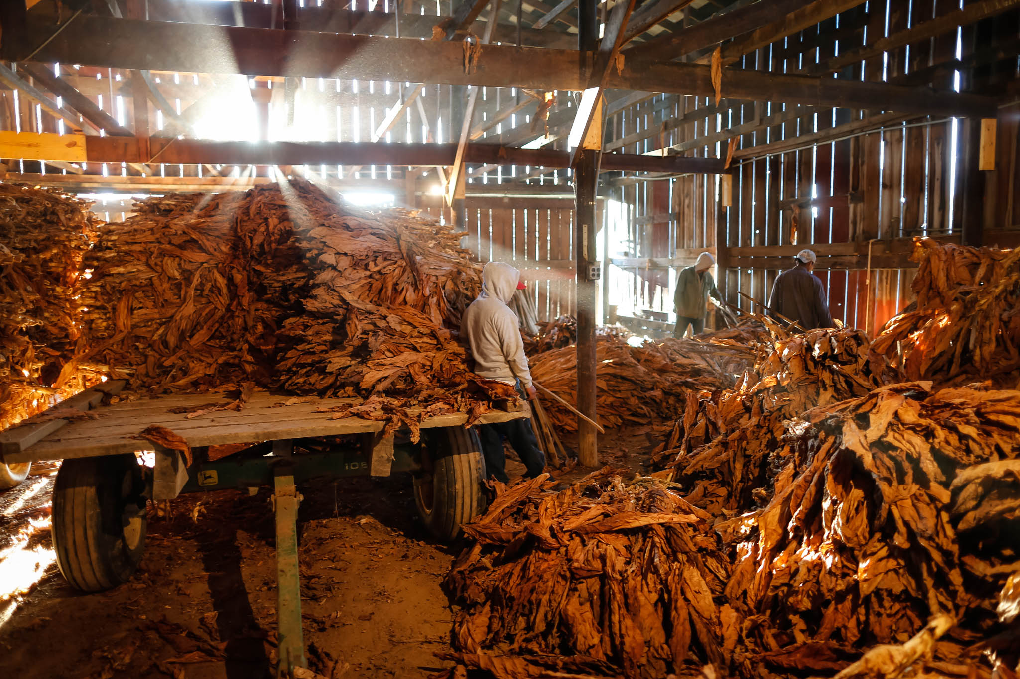Migrant workers stock pile tobacco stalks as they are taken down from the rafters.
