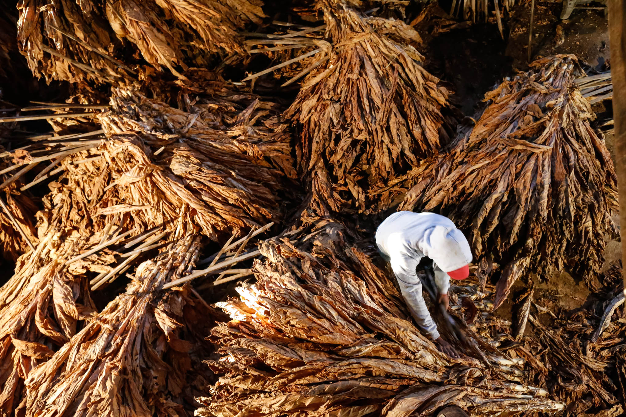 Tobacco stalks are separated for processing at the Mucci Farm in Midway, Kentucky.