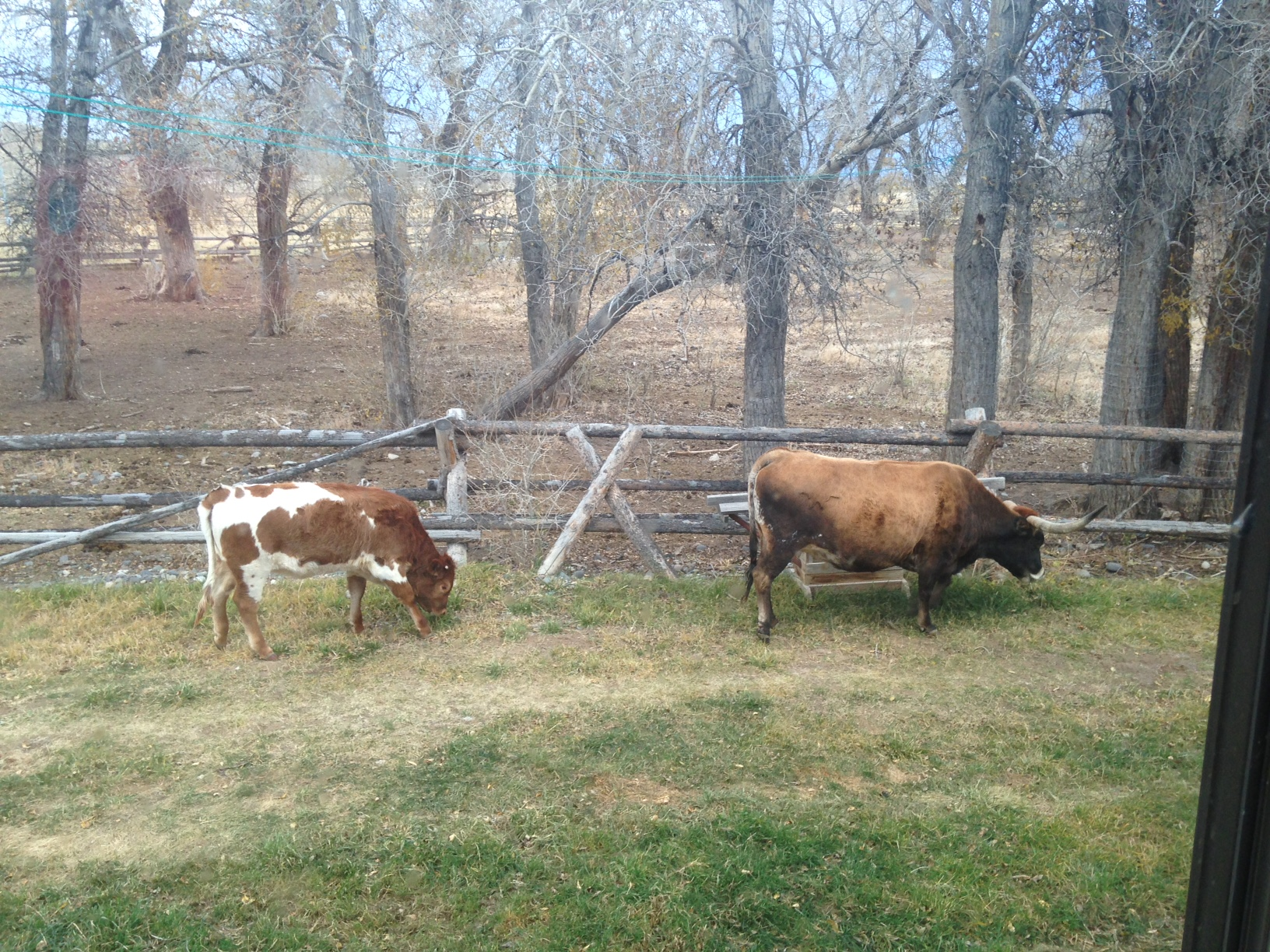 That's Patsy on the right, and her calf on the left. This was taken from my kitchen window just two days ago.