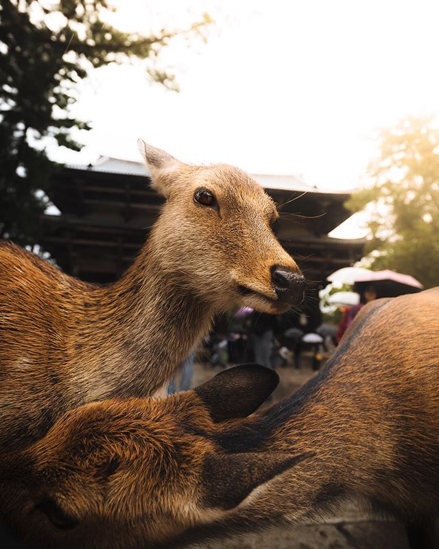 🦌 Catching up with friends in Nara… • Last year exploring the famous deer park of Nara feels like a world away. The deer are incredibly comfortable with humans, and can even be a bit aggressive when you're not there during high season as there's less food to go around. But most, like these two, are just super chill. Tag a friend you'd go with 👯‍♂️ ….. @BeautifulDestinations #DiscoverEarth