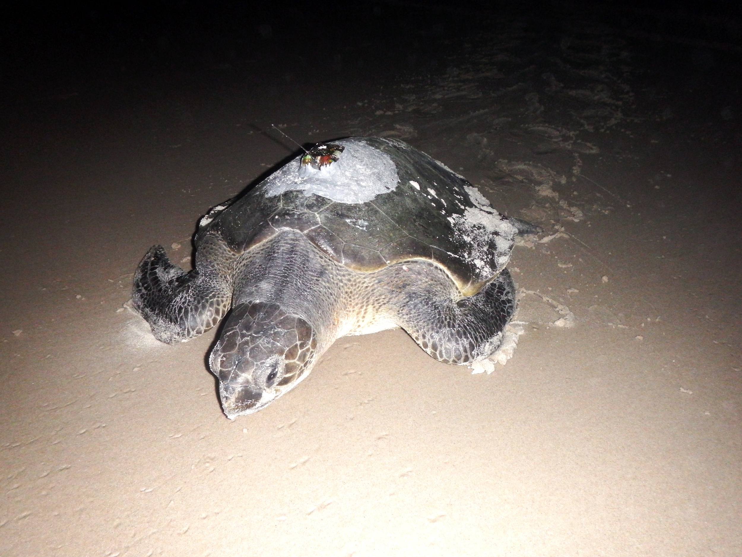 An olive ridley sea turtle ( Lepidochelys olivacea ) with satellite tag attached, that has recently been  tracked  from a nesting beach in Gabon. Photo: Kristian Metcalfe
