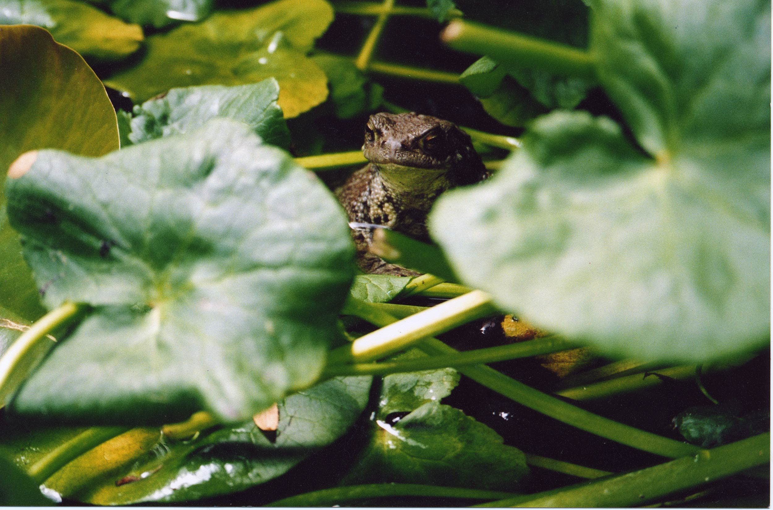 'Ethel' Toad - Nottinghill