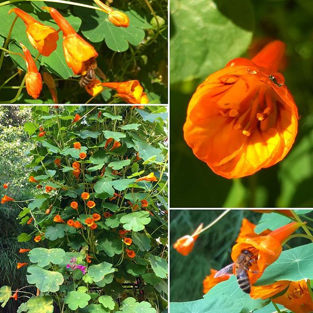I'm growing various types of nasturtiums, including this beautiful MASHUA, which is exploding with bright orange flowers right now. Mashua produces not only edible flowers, leaves, and stems; but also the most delicious tubers. Right now, it's time to feed the eyes and belly with those nutritious leaves, stems, and flowers. I'll harvest the tubers next year. . I add mashua and other nasturtiums' leaves, stems, and flowers to salads, general cooking, and to make pesto. For those who have not tried making home-made pesto before, here's a basic recipe. You can also use other leafy greens such as spinach. . NASTURTIUM PESTO RECIPE: . -4 cups packed nasturtium leaves, flowers, and stems -2 cups packed spinach -1 cup olive oil -2/3 cups cashews -1 head of garlic -Juice of 2 lemons -2 tsp. sea salt -Pepper to taste -Optional: 1 cup pecorino or parmesan cheese . INSTRUCTIONS: . 1. Add all ingredients in blender and blend until smooth. 2. Refrigerate or freeze unused pesto. . #MedicinalFoods #HealthyCooking #Farmacy #Immunity #AutoimmuneDisease #GutHealing #AntiInflammatory #BloodPressure #Diabetes #AntiAging #MedicinalPlants #FoodIsMedicine #HealWithFood #GrowYourFood #EatSeasonally #GlutenFree #Nourish #Thrive #Pollinators #Mashua #Nasturtiums #EdibleFlowers #Pesto