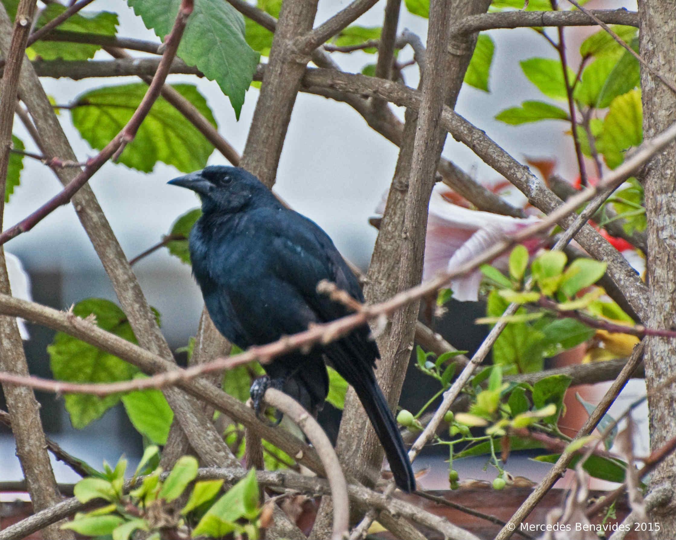 Scrub Blackbird / Tordo de Matorral