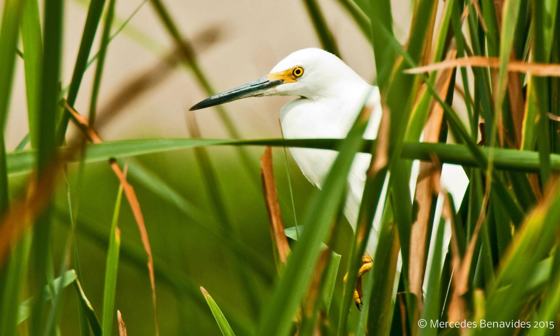Snowy Egret / Garza Blanca