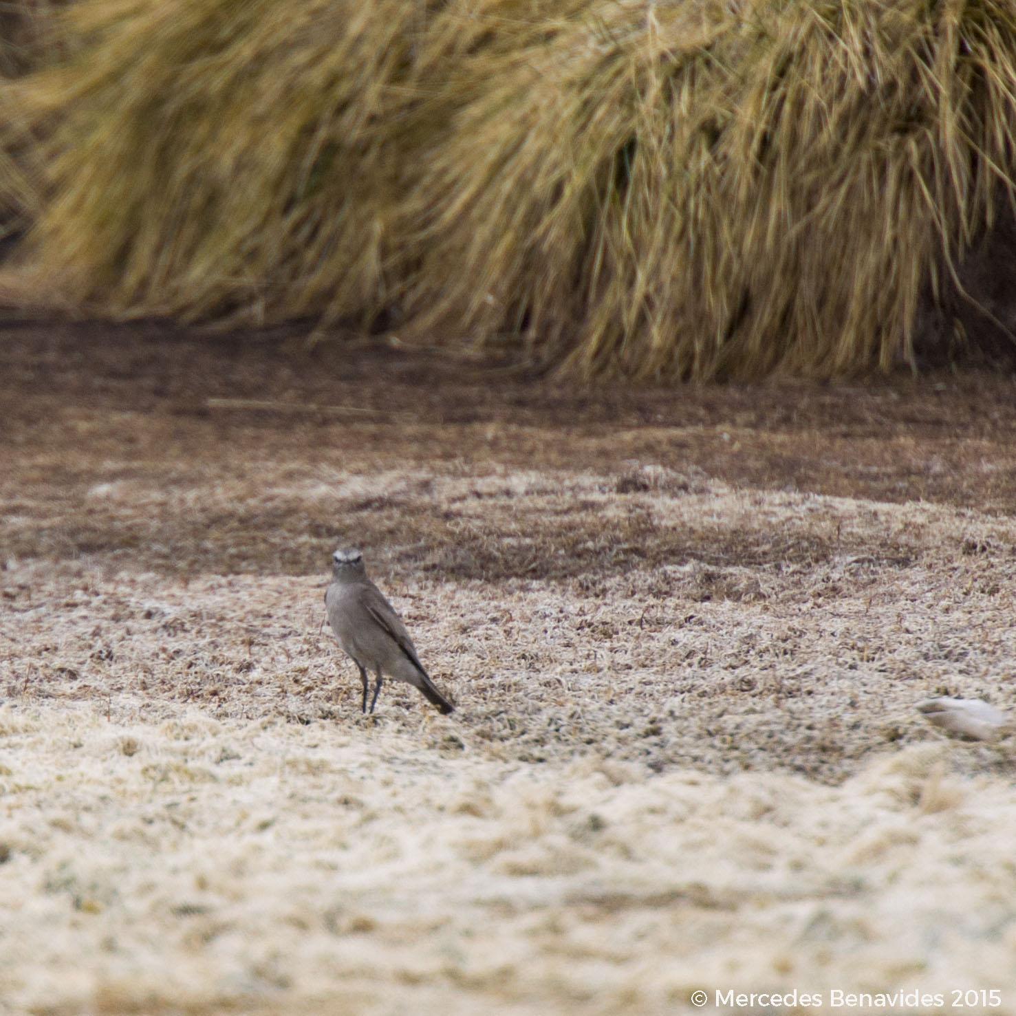 Dormilona de Taczanowskii / Taczanowski's Ground-Tyrant  (Muscisaxicola griseus)   IUCN: (LC) Preocupación Menor / Least Concern