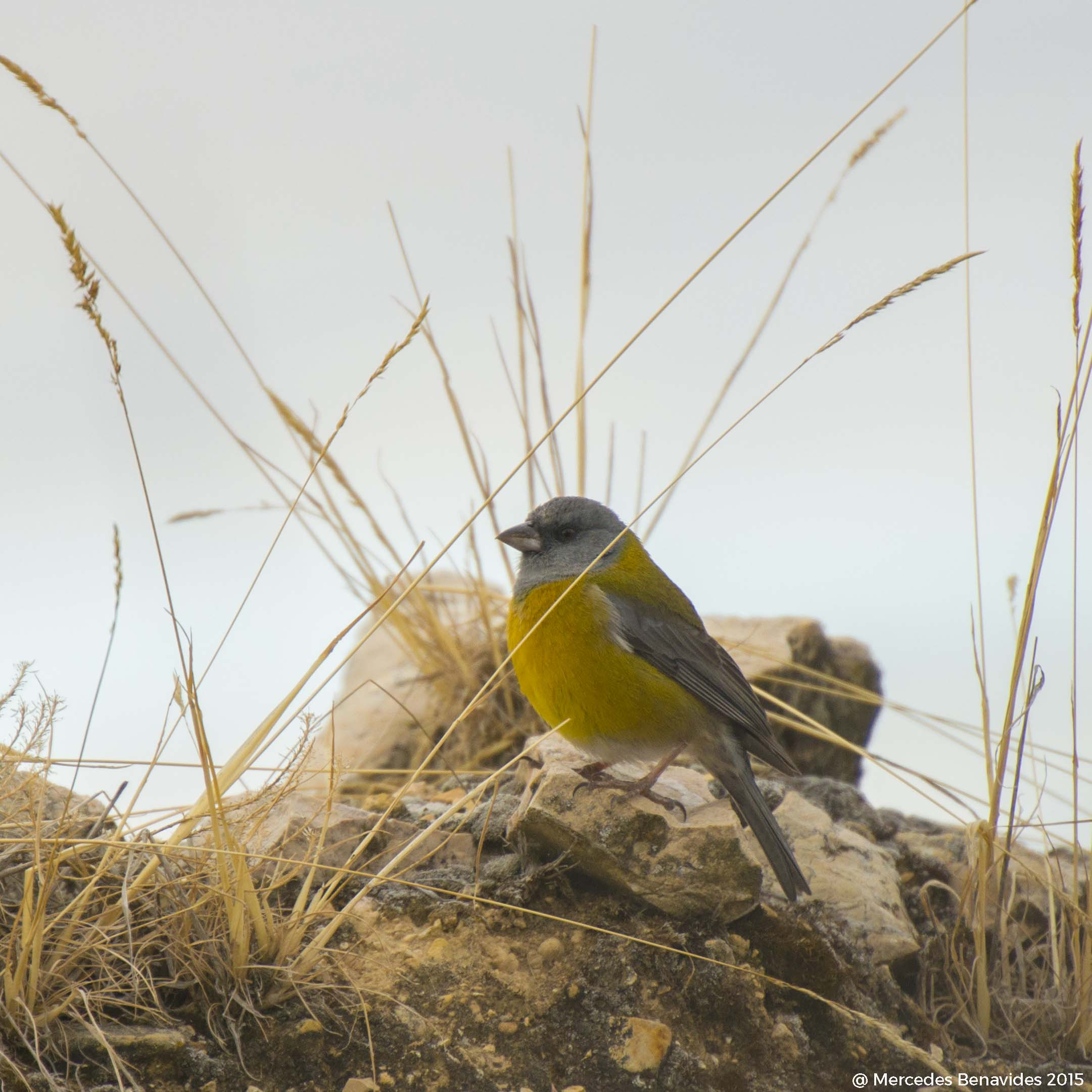 Fringilo Peruano / Peruvian Sierra-Finch ( Phrygillus punensis )  IUCN: (LC) Menor preocupacion / Least Concern