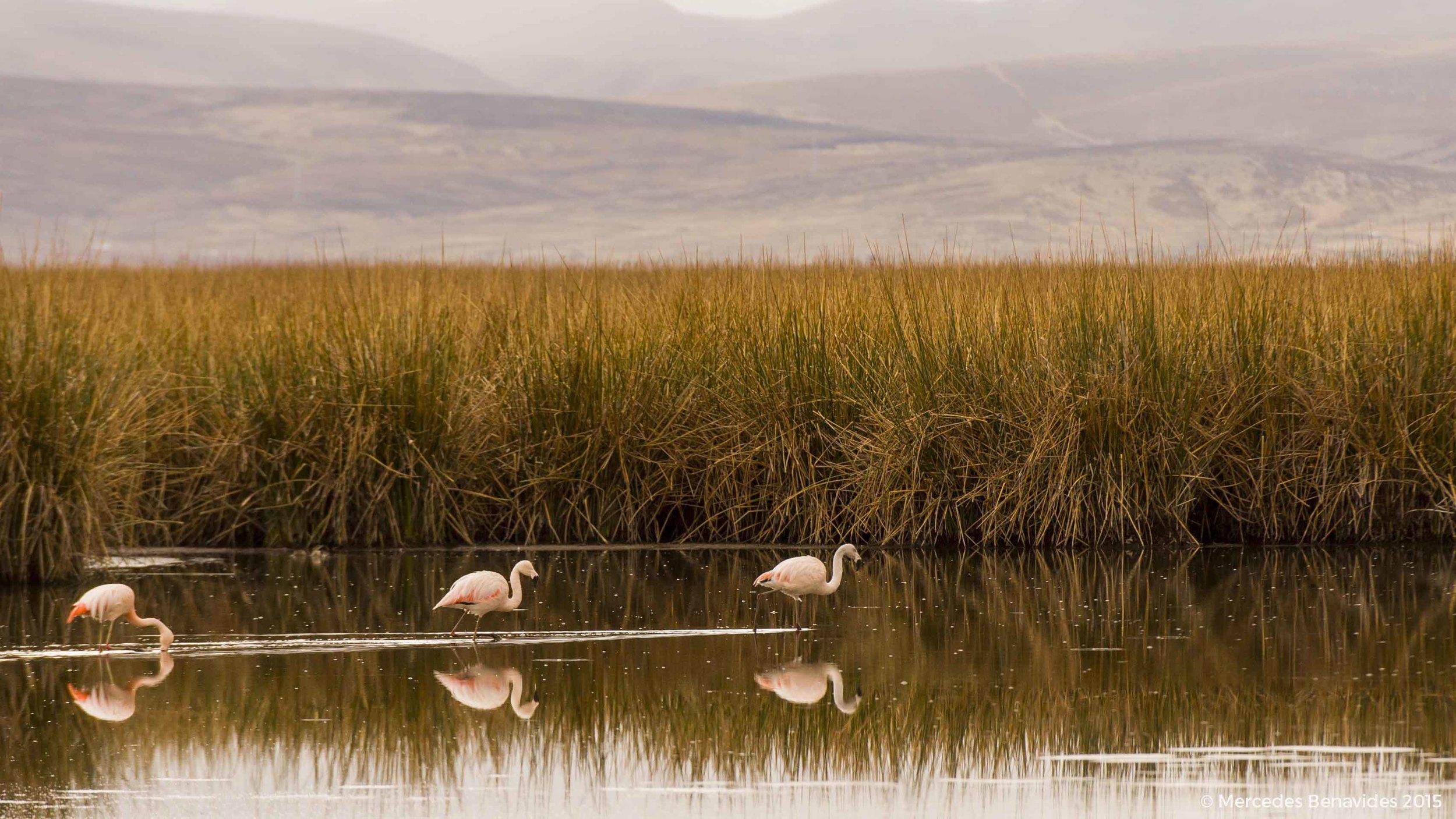 Parihuana Común / Chilean Flamingo  (Phoenicopterus chilensis)   IUCN: (NT) Casi Amenazado / Near Threatened