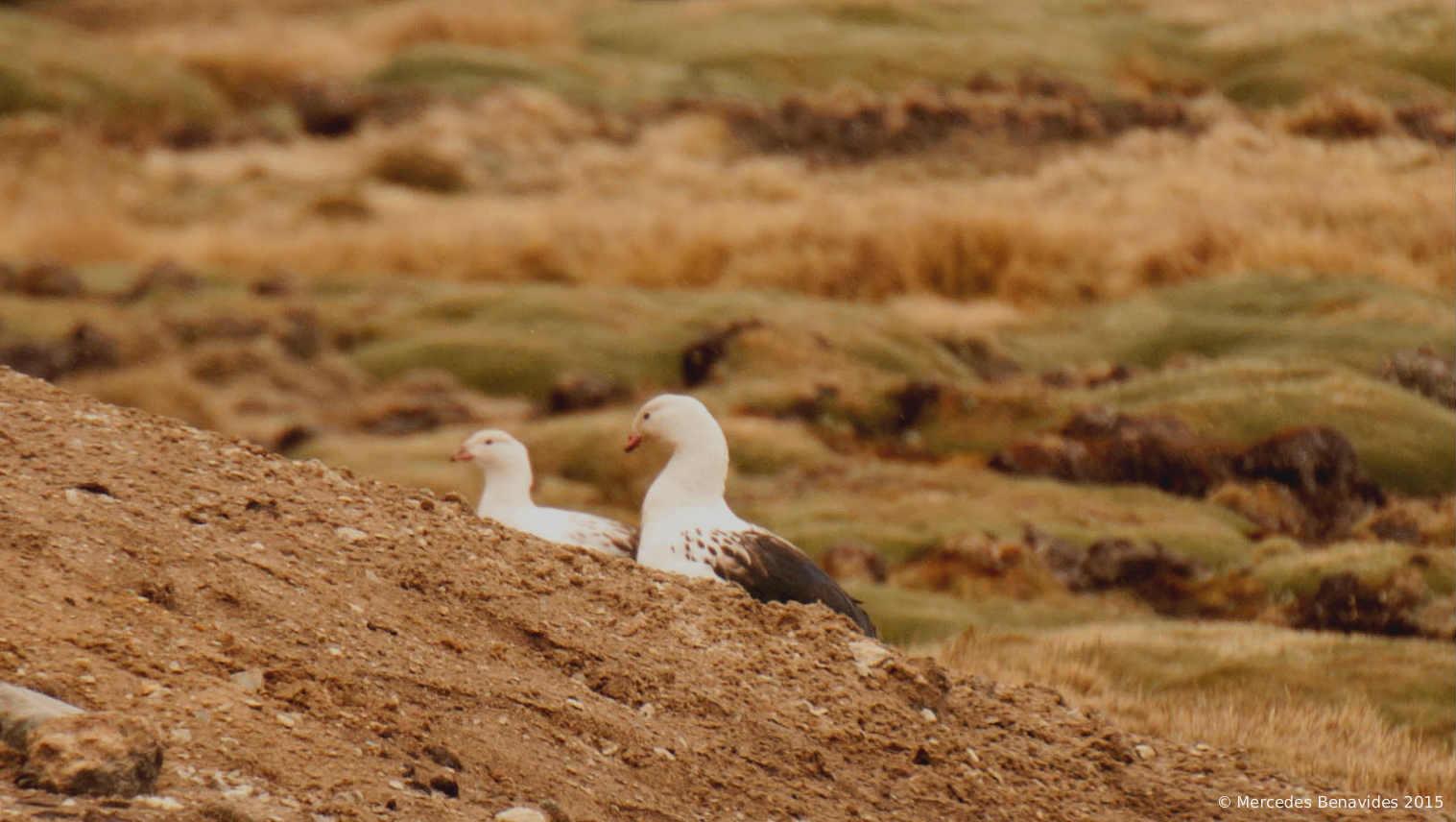Wallata / Andean Goose ( Chloephaga melanoptera )  IUCN: (LC) Menos preocupación / Least Concern  Ticlio, Lima. 4,818 m / 15,807 feet