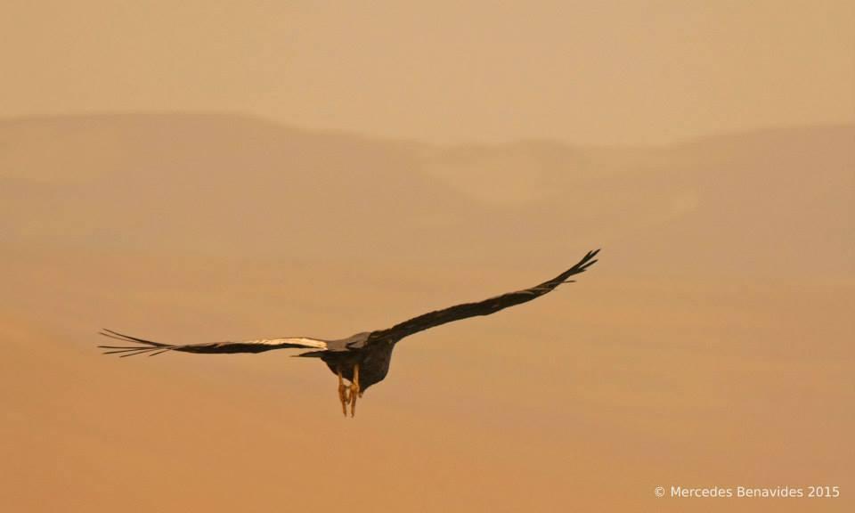 Cóndor Andino / Andean Condor ( Vultur gryphus )  IUCN: (NT) Casi Amenazado/Near Threatened