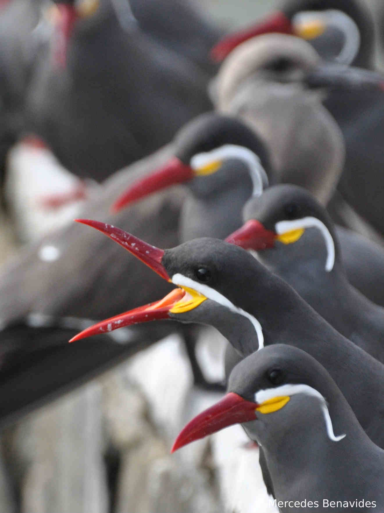 Zarcillo / Inca Tern ( Larosterna inca ) Adulto / Adult   Pucusana, Lima, Perú