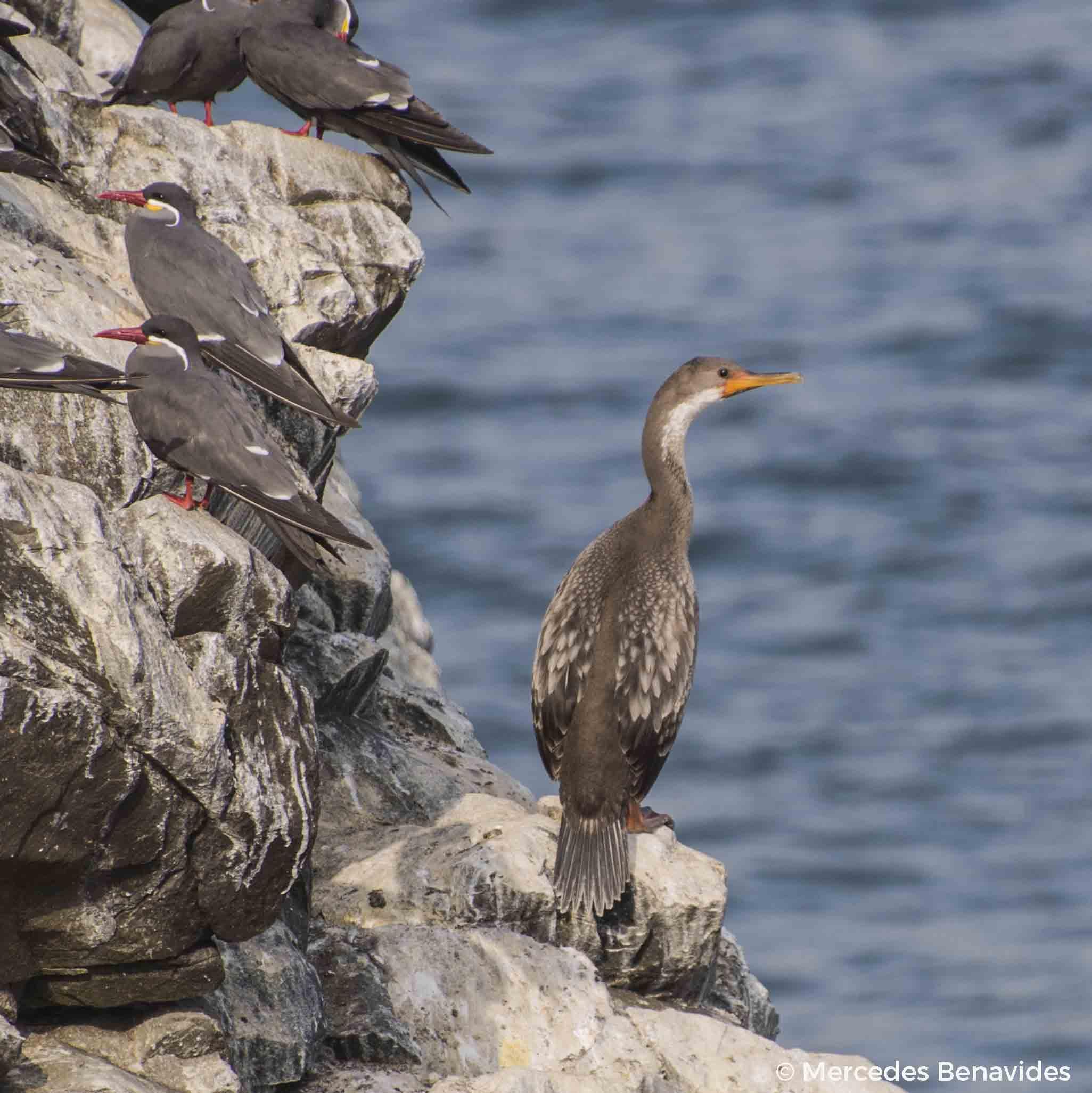Cormorán Pati-Rojo o Chuita / Red-legged Cormorant ( Phalacrocorax gaimardi .) Juvenil / Juvenile  IUCN: (NT) Casi Amenazado / Near Threatened  Pucusana, Lima, Perú