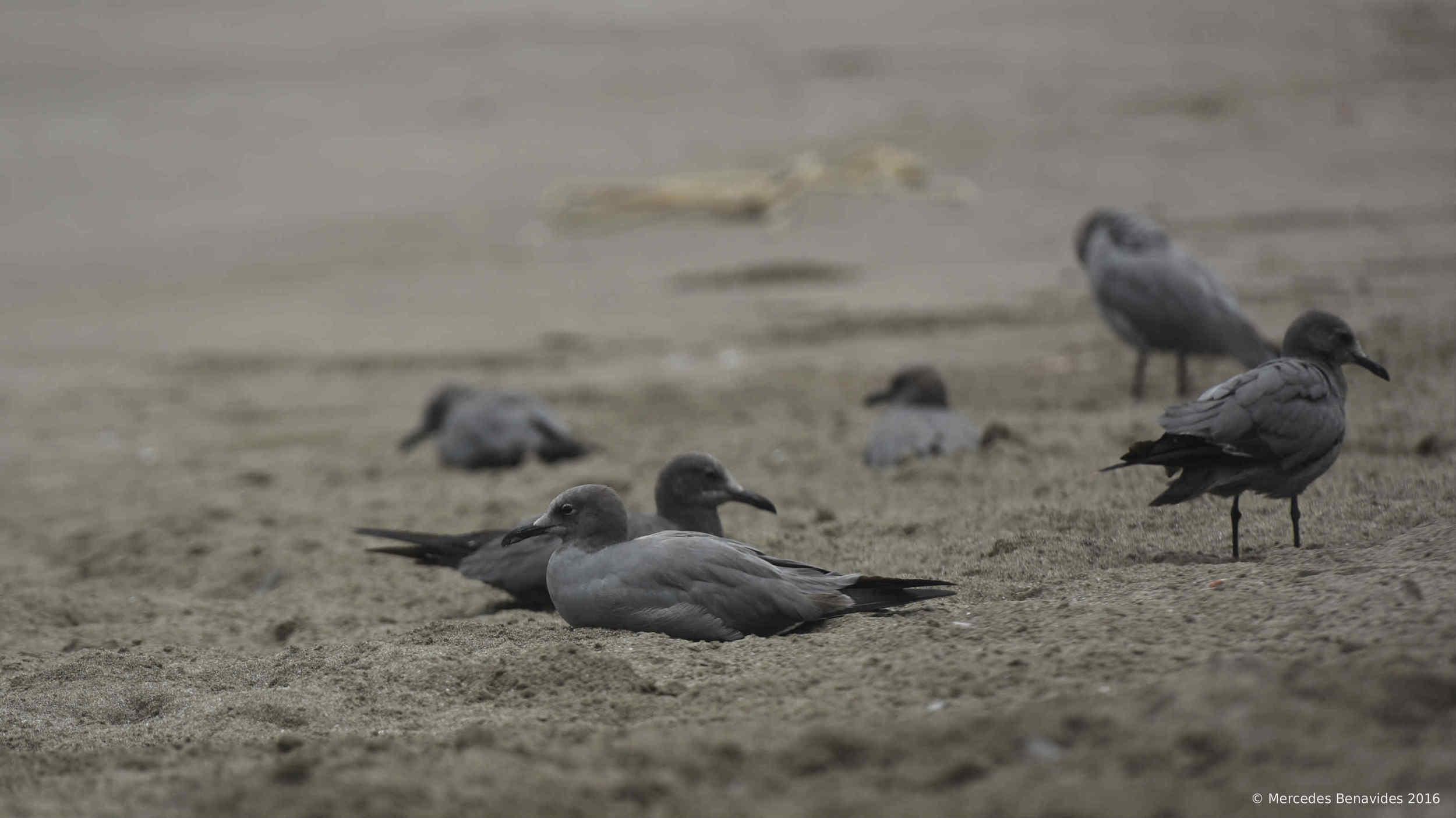 Gaviota Gris / Grey Gull ( Leucophaeus modestus ). IUCN: (LC) Baja Preocupación / Least Concern.  Hábitat: Playa arenosa / Sandy beach  Pucusana, Lima, Perú