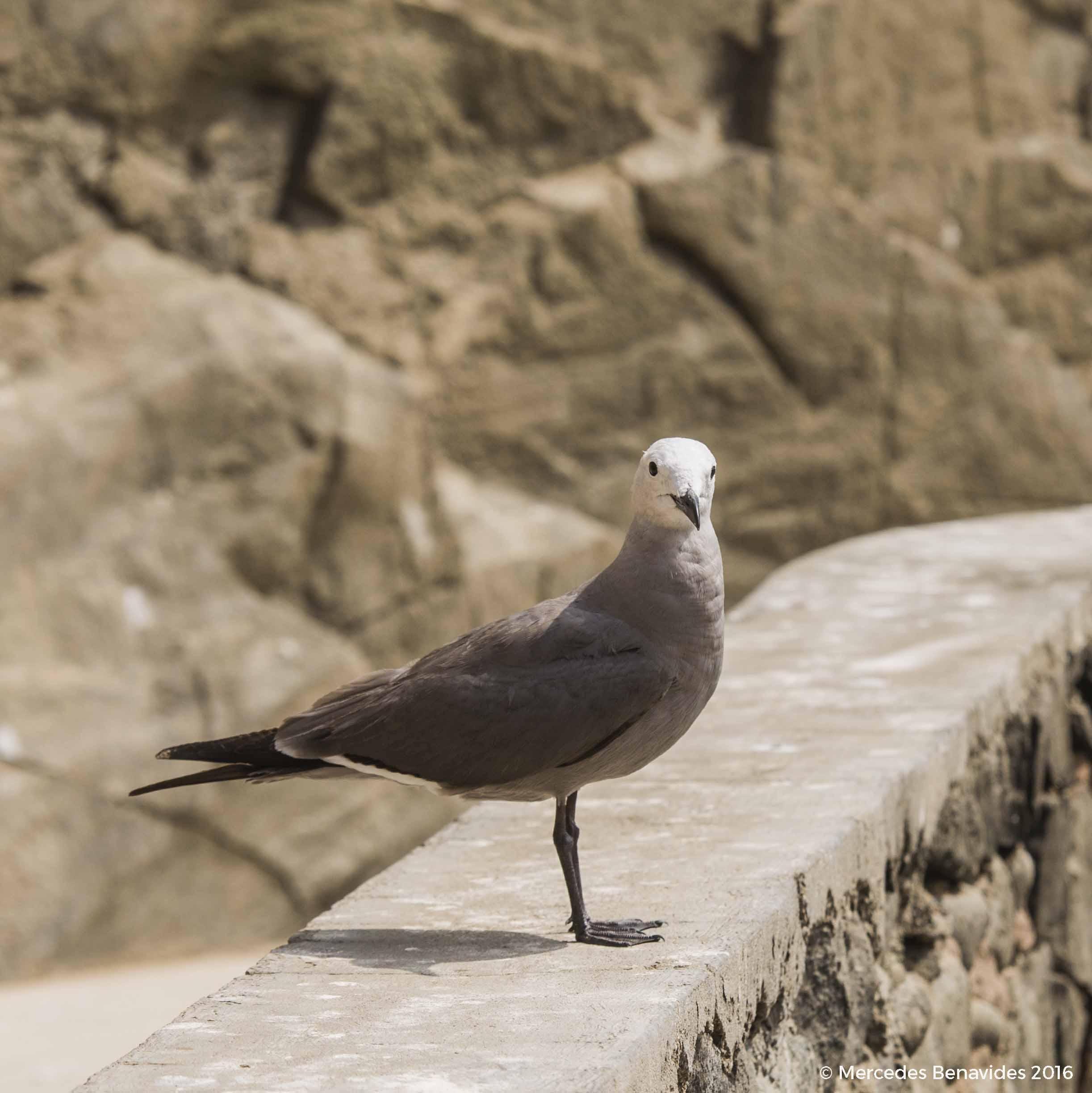Gaviota Gris / Grey Gull ( Leucophaeus modestus ). Adulto, plumaje reproductivo. Adulto, breeding plumage.  Hábitat: Playa arenosa / Sandy beach  Pucusana, Lima, Perú