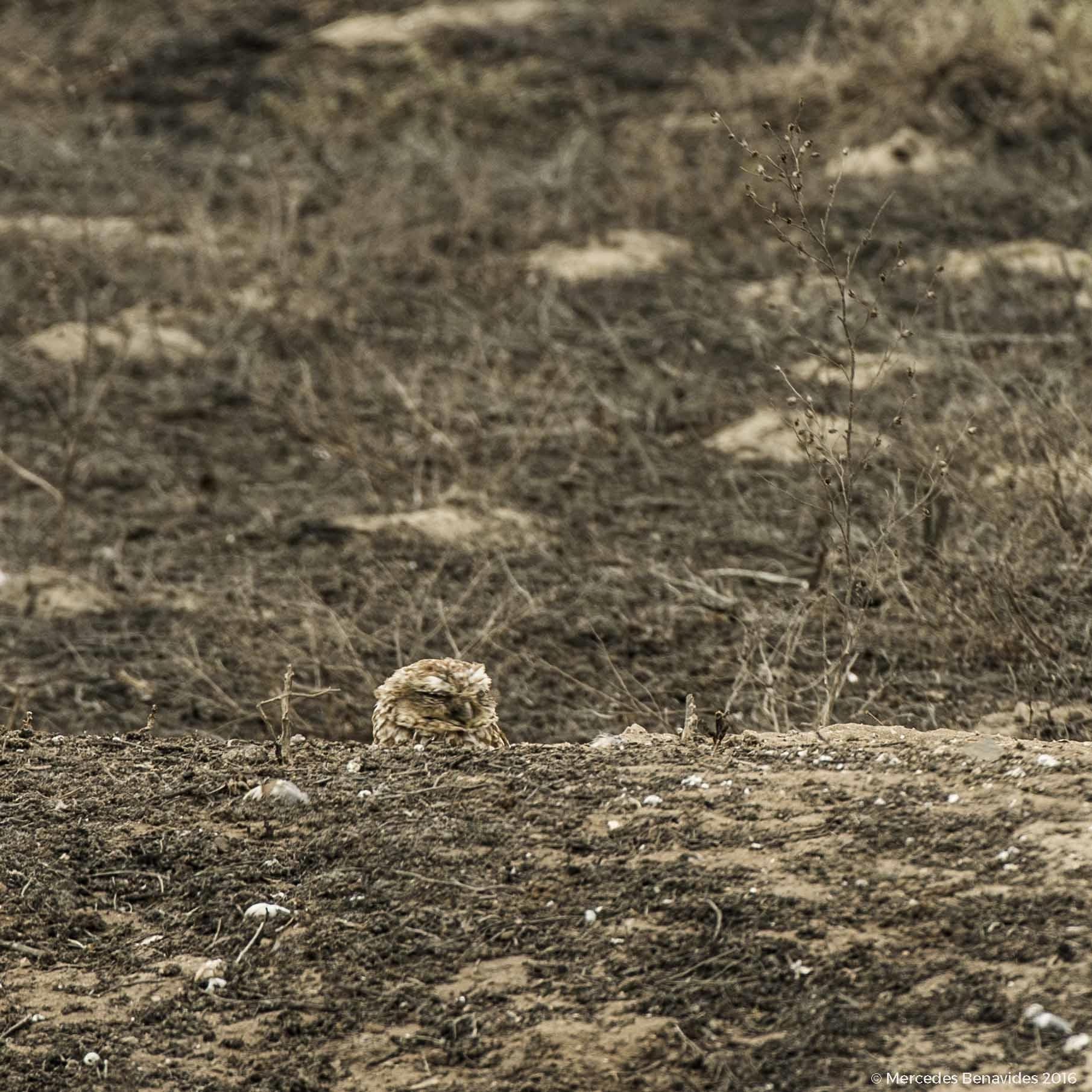 En el nido/Underground nest.  Reserva Nacional de Lachay, Lima.