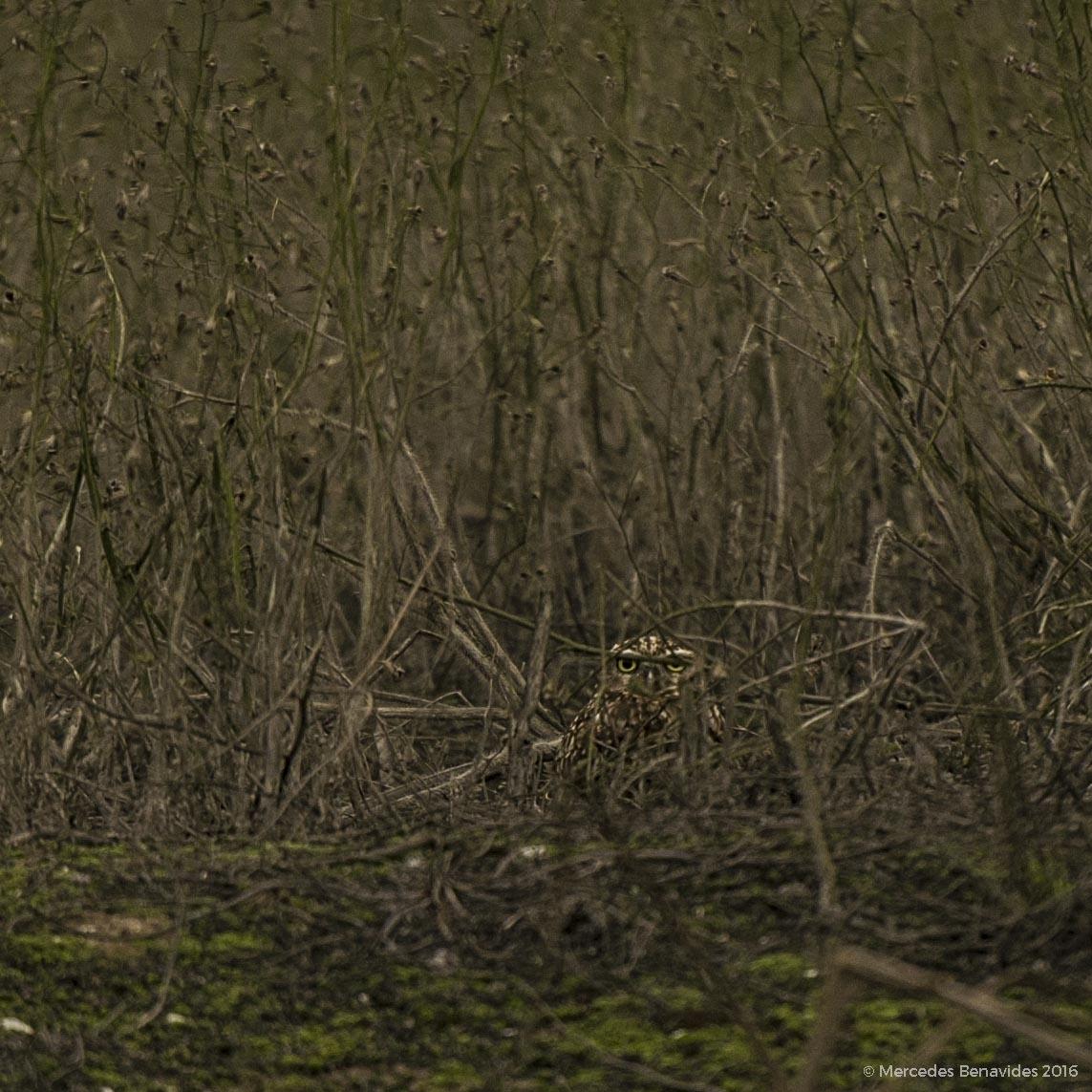 Camuflaje perfecto!/Perfect camouflage!  Reserva Nacional de Lachay, Lima.