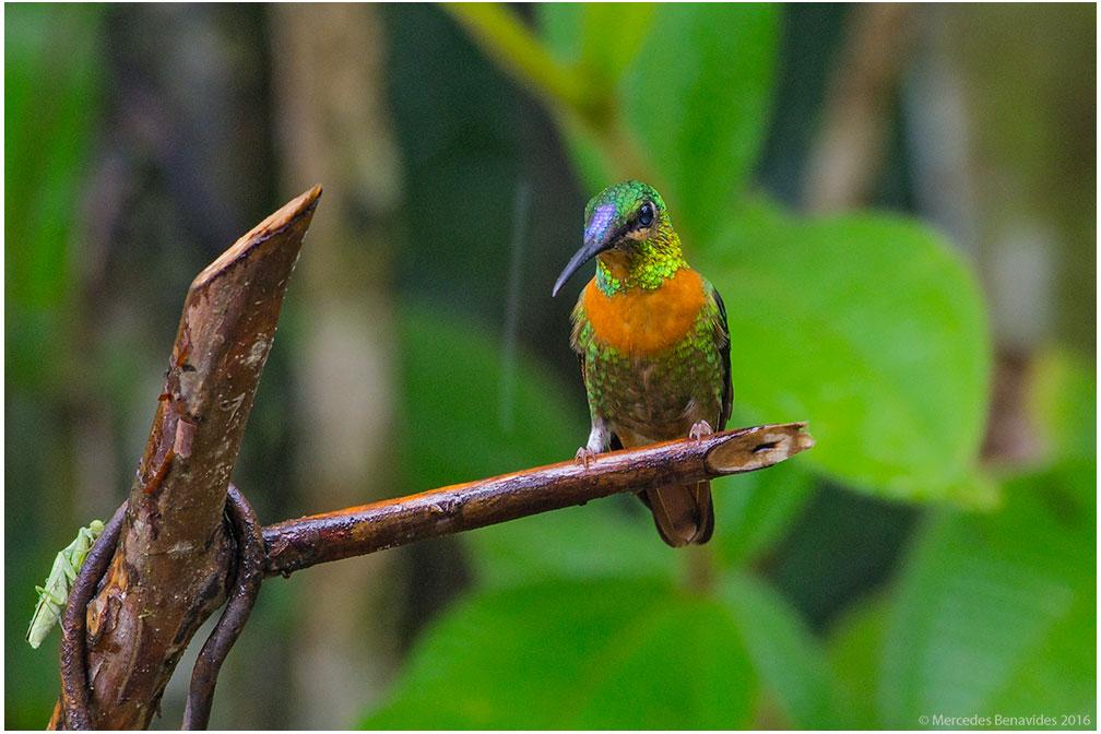 Colibrí Cuello Castaño/Gould´s Jewelfront ( Heliodoxa aurescens )  IUCN: (LC) Menor Preocupacion/Least Concern  ACONABIKH, Cordillera Escalera, San Martín