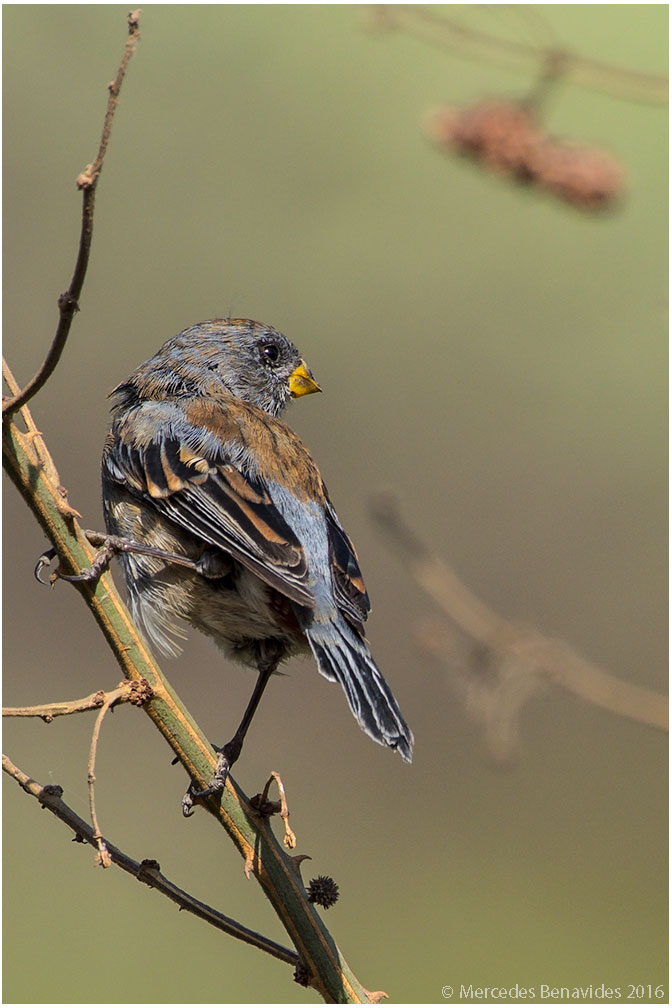 Semillero de Cola Bandeada/Band-tailed Seedeater (Catamenia analis)