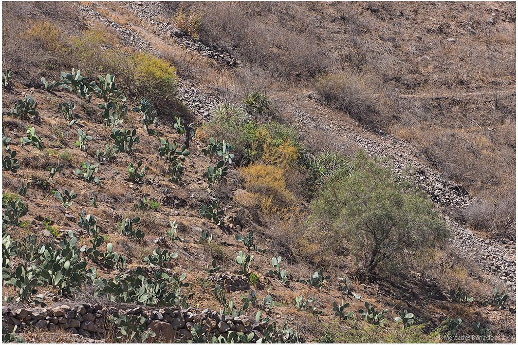 Plantación de cactus/Cactus plantation