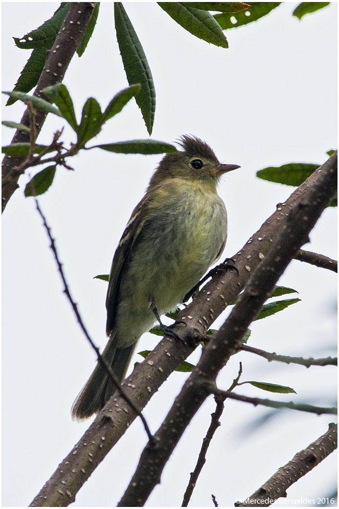 Fíofio Ventriamarillo/Yellow-billed Elaenia (Elaenia favigaster)