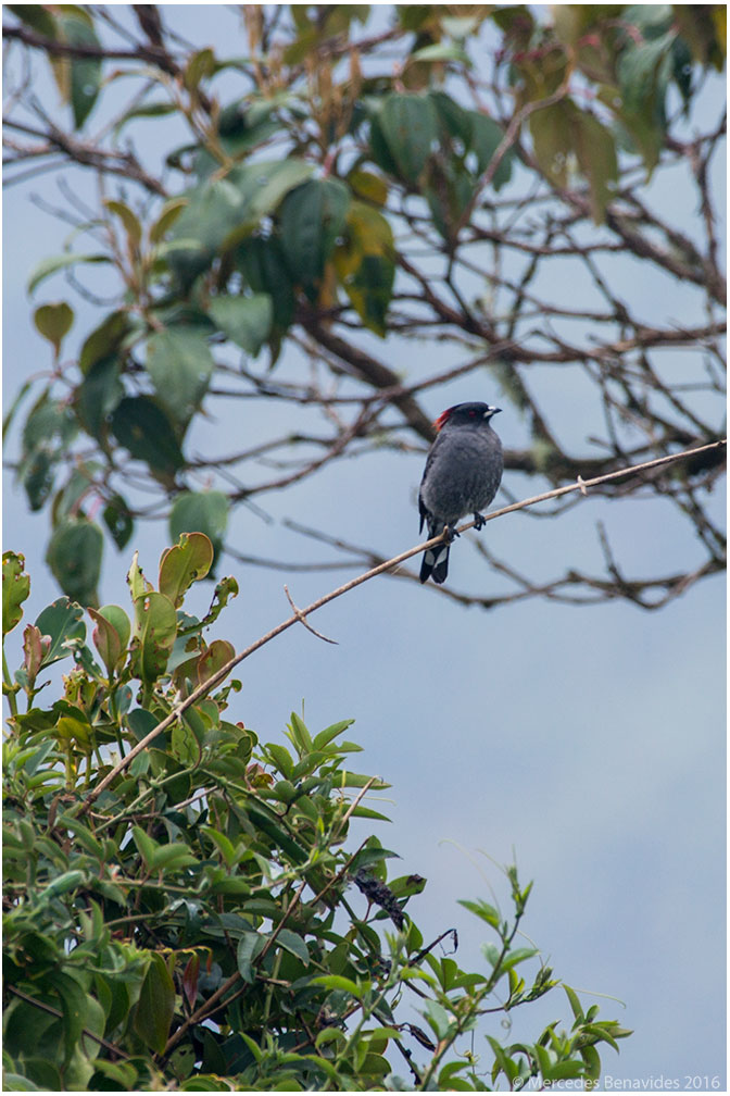 Cotinga de Cresta Roja/Red-crested Cotinga (Ampelion rubrocristata)