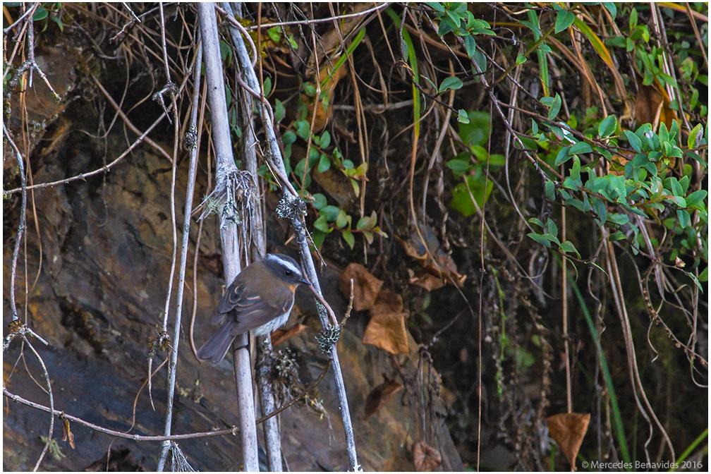 Pitajo Pechirrufo/Rufous-breasted Chat-Tyrant (Ochthoeca rufipectoralis)