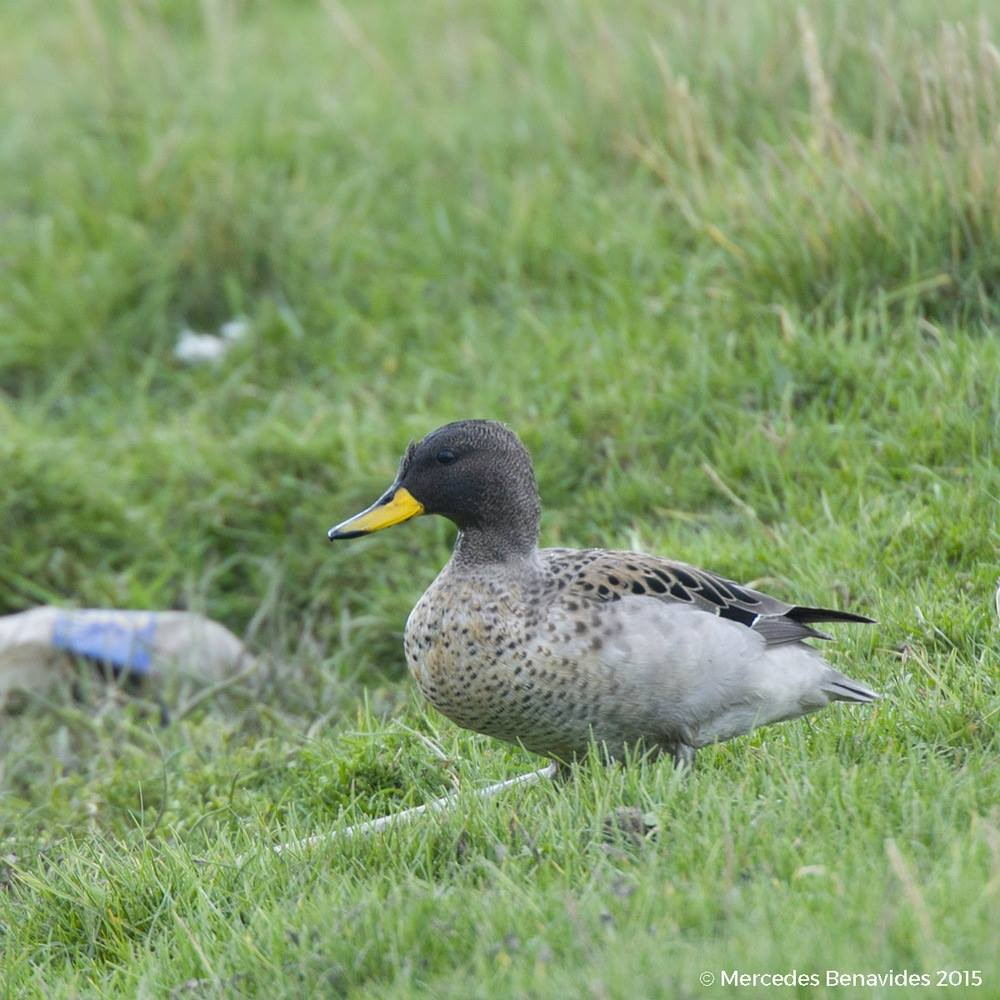 Pato Barcino / Yellow-billed Teal (Anas flavirostris)
