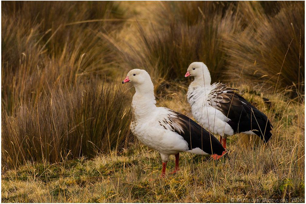 Wallata / Andean Goose (Chloephaga melanoptera)