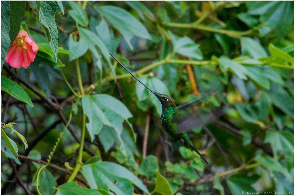Colibri Pico Espada / Sword-billed Hummingbird (Ensifera ensifera)