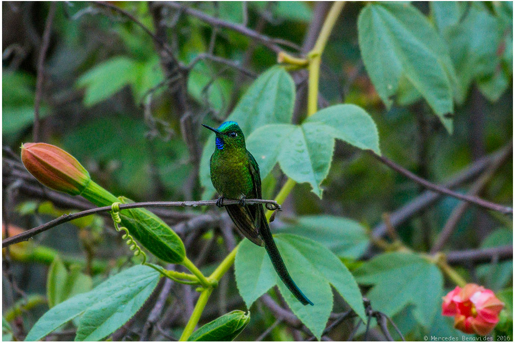Silfo de Cola Larga / Long-tailed Sylph (Aglaiocercus kingi)