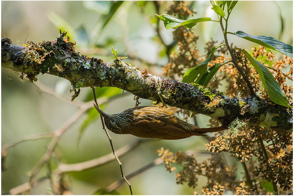 Trepatroncos Montano / Montane Woodcreeper (Lepidocolaptes lacrymiger)