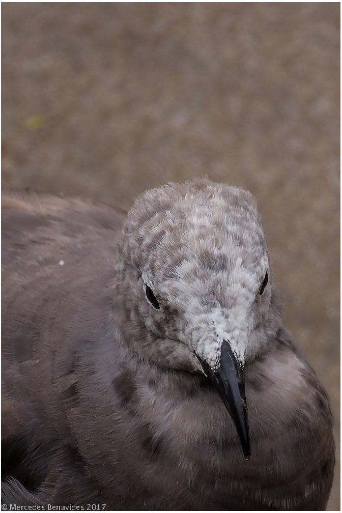 3.  Gaviota Gris / Gray Gull (Leucophaeus modestus)